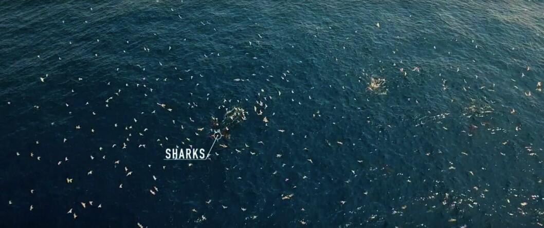 Vissa havsfåglar är beroende av hajar för sin överlevnad.